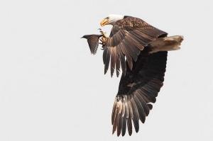 vulturi si grauri
