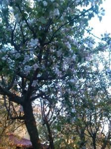 lili copaci infloriti 001