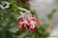floare de gheațî