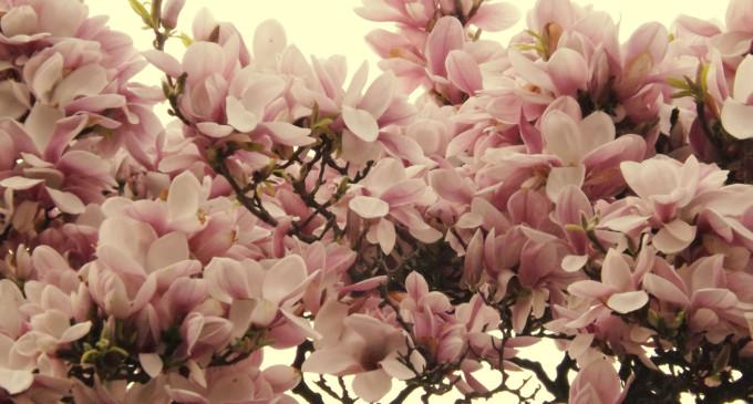 magnolii oradea
